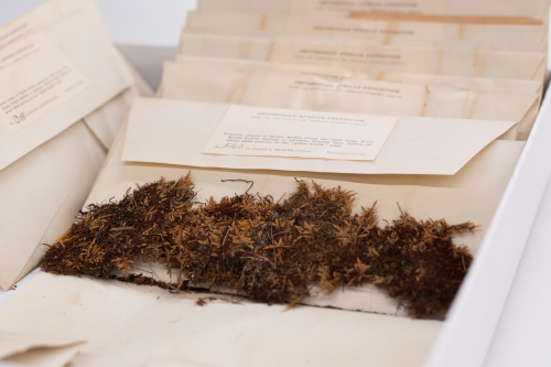 Edgar Mearns, a naturalist and ornithologist, collected more than 3,000 natural history specimens, including this unidentified moss from British East Africa (now Kenya), during the historic Smithsonian-Roosevelt African expedition of 1909-1910. (photo by Miguel Montalvo)
