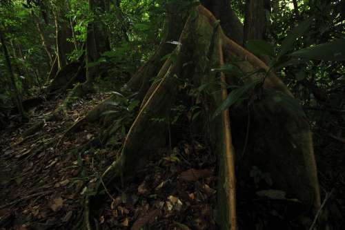 ForestGEO's Lambir, Malaysia site is the focus of current scientific fieldwork. (photo by Christian Ziegler)