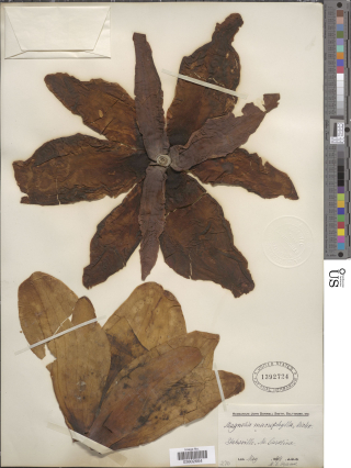 This specimen of Magnolia macrophylla (Magnoliaceae), collected in North Carolina in May 1879, is one of the 2.5 million specimens that have been imaged during the Department of Botany's digitization belt project.