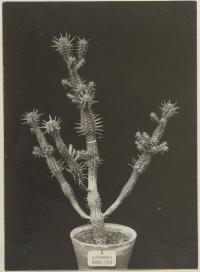Euphorbia mamillosa