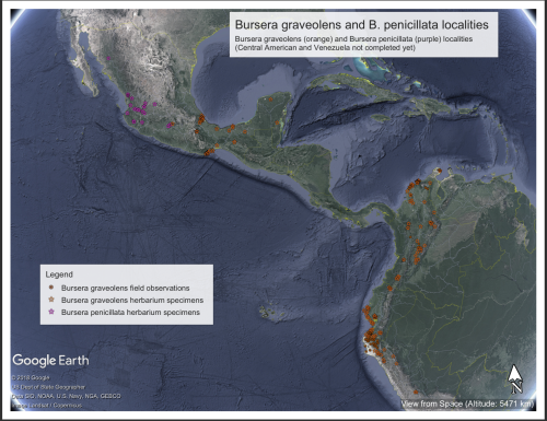 Betsy Collins' work-in-progress (i.e., missing Central American, Venezuelan, and Galápagean collections) distribution map of Bursera graveolens and B. penicillata (a morphologically similar, but phylogenetically somewhat distant, species).