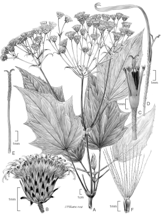 Erato costaricensis (illustration by Alice Tangerini)