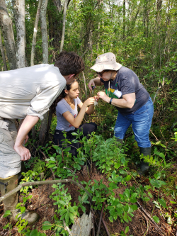 Monica Marcelli with SERC interns, Simone Evans and Thomas Chapin, hand pollinating Platanthera in the field.