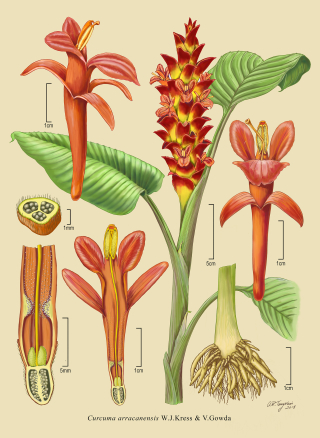 Illustration of Curcuma arracanensis by Alice Tangerini