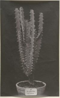 Euphorbia tenuirama