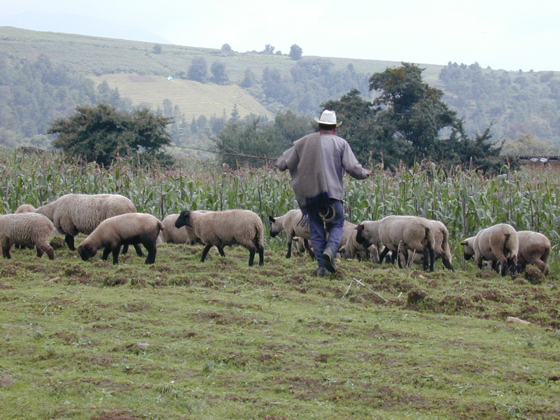 A man and a herd of sheep in a grassy field next to growing corn
