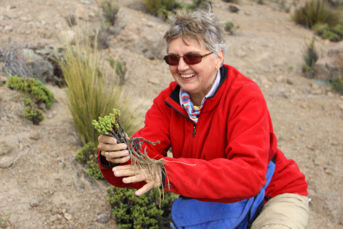 Vicki Funk collecting plants on Volcano Tacna, Chile in 2014. (photo by Mauricio Diazgranados)