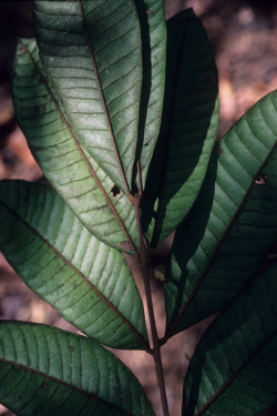 Talisia furfuracea (Sapindaceae) is endemic to the Guiana Shield. This species is being evaluated for its conservation status as part of the Global Tree Assessment. (photo by Pedro Acevedo-Rodríguez)