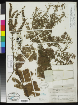 The type specimen of dawn redwood, Metasequoia glyptostroboides, collected by C.T. Hwa in 1947 from Szechuan, China. An endangered conifer, the dawn redwood is the sole living species of the genus, which was first described from Mesozoic fossils.