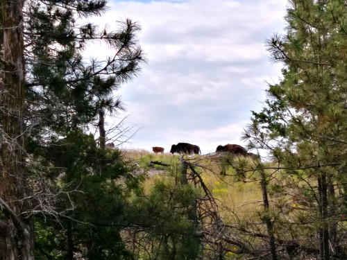 Buffalo amble by on the prairie's edge at the Niobrara plot.  (photo by Sabrina E. Russo)