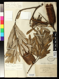 Among the oldest type specimens in the US collection is Banksia integrifolia. It was collected along the eastern coast of Australia (then called New Holland) by Joseph Banks and Daniel Solander during Captain James Cook's first voyage of the ship Endeavour (1768 - 1771).