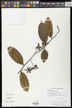 The type specimen of Guatteria alticola Scharf & Maas (Annonaceae). This specimen was collected by H. David Clarke in 2001 from Mt. Ayanganna, Guyana. It is one of about 115,000 type specimens in the U.S. National Herbarium.