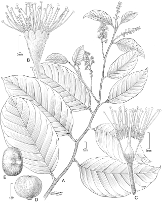 Prunus polystachya (illustration by Alice Tangerini)