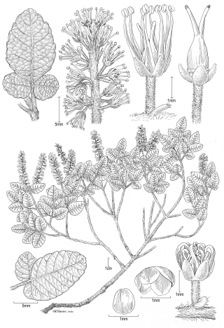 Weinmannia sp. (illustration by Alice Tangerini)