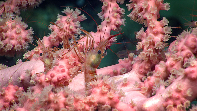 Shrimp-800_Image courtesy of the NOAA Office of Ocean Exploration and Research  Deep Connections 2019.