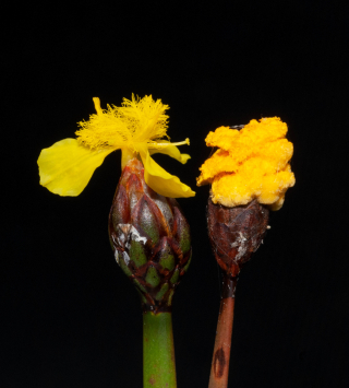 Xyris surinamensis inflorescences comparing similar flowers (left) and fungal pseudoflowers (right). (image by Ken Wurdack)
