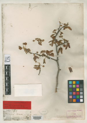 Holotype of Mimosa xanti (Fabaceae) collected in Cape San Lucas, Mexico by János Xántus between August 1859 and January 1860.