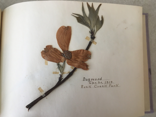A look inside. A dogwood specimen collected in Rock Creek Park on April 20, 1919. (photo by Sue Lutz)