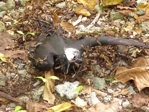 Brown noddy (Anous stolidus) covered with the sticky fruits (anthocarps) of the cabbage tree (Pisonia grandis). (photo by Jean-Yves Meyer, Délégation à la Recherche de Polynésie Française, Tahiti, French Polynesia)