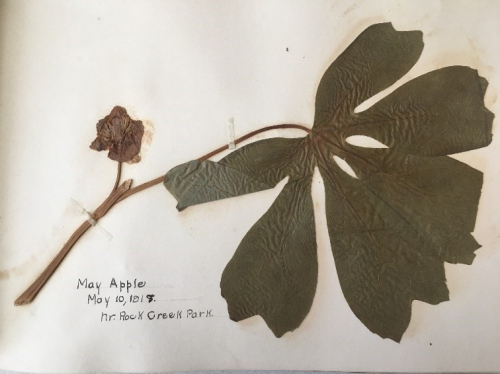 A look inside. A mayapple specimen collected in Rock Creek Park on May 10, 1918. (photo by Sue Lutz)