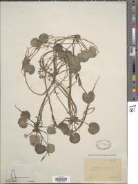 "Hydrocharis morsus-ranae L. collected by F. Vierhapper in Austria, July 1886. Prof. Michael Hohla transcribed this location as ""Flora Salisburg., Wiesengräben bei St. Georgen""."