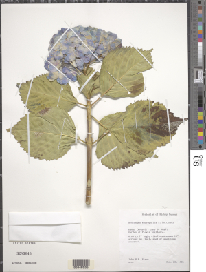 The blue buds of Hydrangea macrophylla f. hortensia stand out in this specimen collected in 1986 by J.H.R. Plews in Kauai, Hawaii. The specimen is housed in the U.S. National Herbarium.