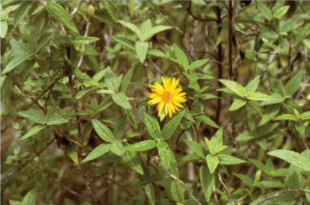 A field photograph of Bishopanthus soliceps by collector L.E. Bishop. The species has not been found since its original discovery in 1983 in Amazonas, Peru, in the mountains behind Tingo at 6,500 ft.