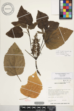 Pogostemon guamensis Lorence and W.L.Wagner (Perlman & Wood 14266, holotype PTBG-061045)