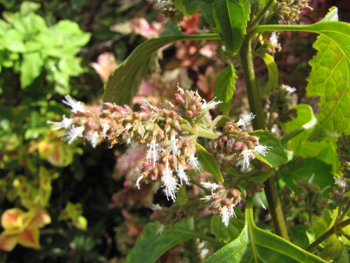 Flowers of patchouli, Pogostemon cablin, at Pali o Waipio, Maui, Hawaii. A newly described species from Guam, P. guamensis, has a superficial resemblance to P. cablin. Molecular evidence, however, shows that P. guamensis is in a well-supported clade containing P. hirsutus, P. wightii, and P. mollis, and separate from that containing P. cablin. (photo by Forest & Kim Starr, CC-by-3.0 US)