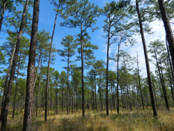 If Cora timucua still exists, it is most likely living in pockets of undisturbed pine scrub habitat in Florida's Ocala National Forest, pictured here, and O'Leno State Park, researchers said. (photo courtesy of Dani Tinker, CC BY-NC 2.0)