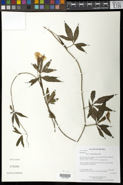 The Merremia sp. is a twining vine, and the specimen seeks to display that twining habit. It unintentionally forms the letter N, which may be the first thing observers see. The New York Botanical Garden has made a web page for the Specimen Alphabet, with A-Z of all the accidental letter specimens. Collection: Acevedo-Rodriguez 16675, Brazil, September 2017.