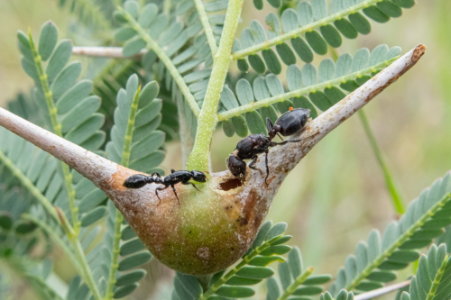 Context dependent evolution of the African ant acacia,Vachellia drepanolobium, and its multitude of symbionts