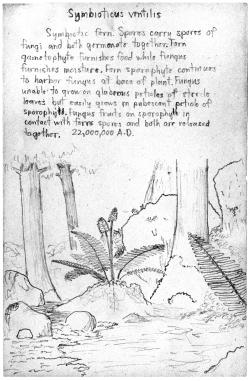 Harold drawing Symbiotis ventilis