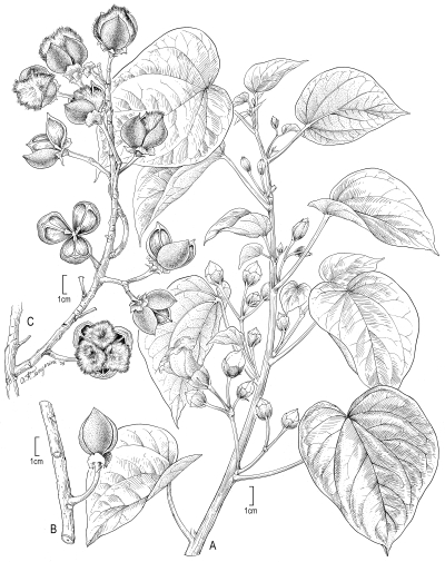 Illustration of Lebronnecia kokioides by Alice Tangerini