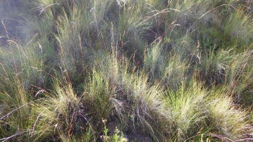 Afroalpine grassland, AfriSki, Lesotho, with Festuca caprina and F. drakensbergensis. (photo by Rob Soreng)
