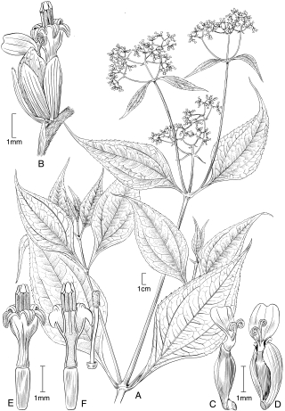 Illustration of Stachycephalum asplundii by Alice Tangerini