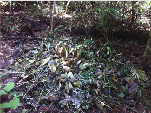 A pig nest at the Pasoh, Malaysia ForestGEO forest dynamics plot. (image by Luskin et al. in Proc. R. Soc. B)