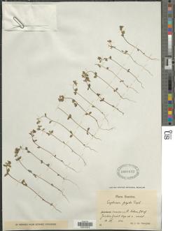 Euphrasia frigida, Nannfeldt s.n., Sweden, July 1934