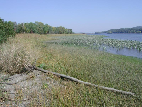 The freshwater tidal marsh habitat of Bidens bidentoides. (photo by Stephen M. Young, courtesy of New York Natural Heritage Program)
