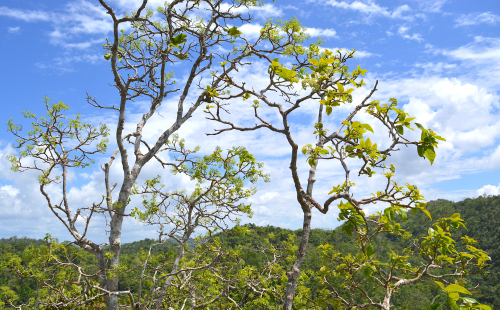Tree of Pisonia jamaicensis growing on the summit of a limestone hill in Jericho, St. James Parish, Jamaica. (photo by K. Campbell