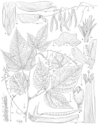 Illustration of Pseudarthria panii by Alice Tangerini