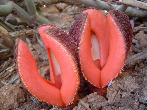 Hydnorafrom fungus to foul flower: the natural history of the strangest plants in the world
