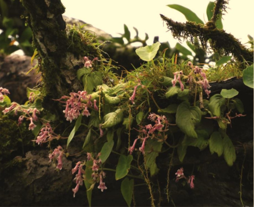 Didymocarpus vickifunkiae grows on moss-covered trees and blooms light pink flowers during the monsoons. (photo by N.S. Prasanna)