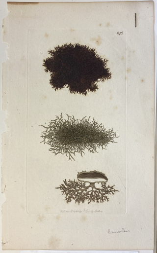 """Etching of a lichen by James Sowerby, with a species name annotated as """"lanatus"""" and print series number """"846"""" in upper corner, published 1801. The etching was recently found in a folder in the lichen cabinets during the digitization process of lichen specimens."""